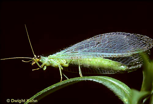 1L01-036z  Green Lacewing adult - Chrysopa spp