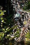 Green heron, Myakka River State Park, Florida