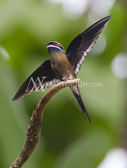 """The whiskered tree swift, which my guide nicknamed the """"little ninja."""""""