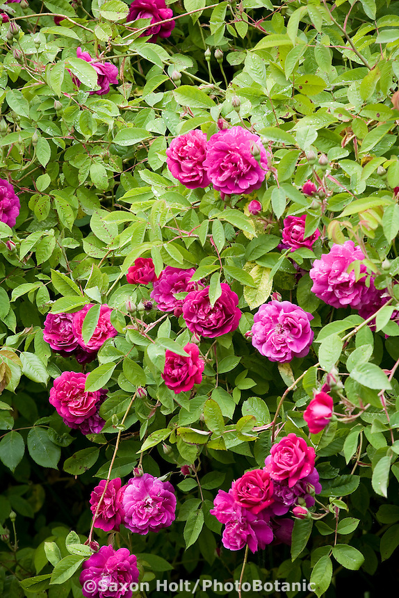 Rosa 'Amadis' Boursault red pink rambler rose flowering at Fickle Hill Old Rose Nursery
