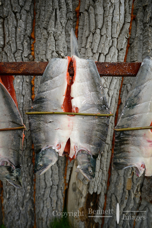 Red (sockeye) salmon (Oncorhynchus nerka) filleted in the old style with a spreader stick hangs to dry at a fish camp on Six Mile Lake near Nondalton, Alaska, adjacent to Lake Clark National Park and Preserve, where the traditional subsistence ways of catching and preserving salmon as they return from the sea in mid July are still practiced today.  NOT FOR USE BY THE MINING INDUSTRY.