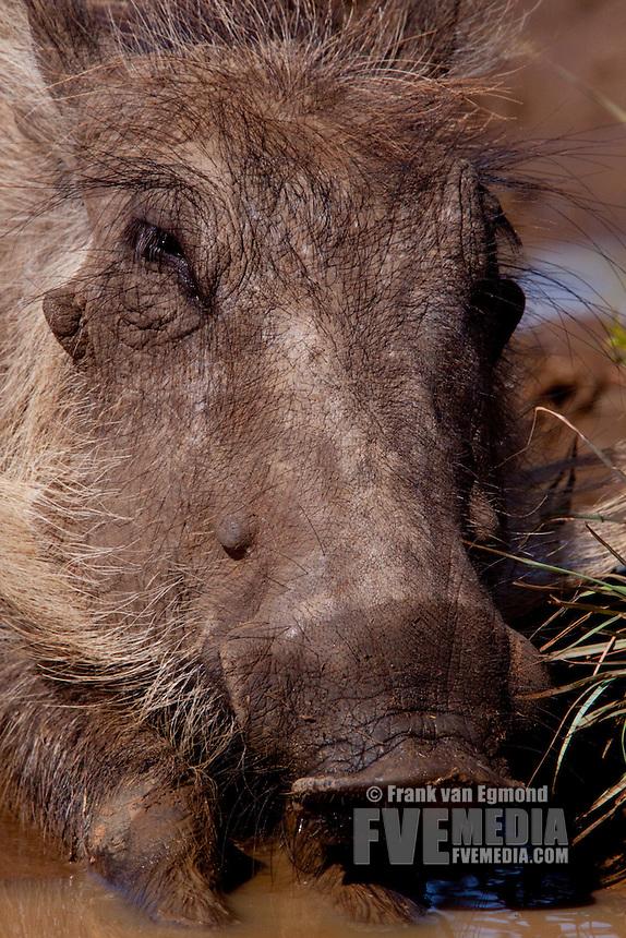 Warthog (Phacochoerus Africanus)..Warthog enjoying a mid-afternoon mudbath..Winter, May 2009..Hluhluwe-Imfolozi Game Reserve, Kwazulu Natal, South Africa.