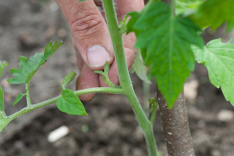 "Pinching out sideshoots that appear in the ""V"" between the leaf stems and the main stem of a vine or cordon tomato."