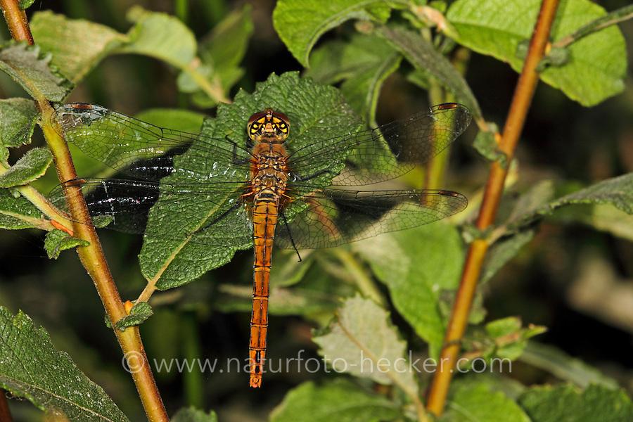 Blutrote Heidelibelle, Weibchen, Sympetrum sanguineum, ruddy sympetrum, Ruddy Darter, female, Sympétrum sanguin