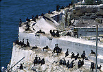 Cormorants nesting on Alcatraz Island