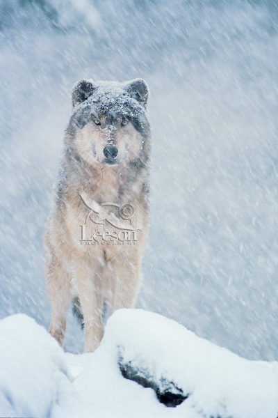 Gray wolf (Canis lupus) in snowstorm..(Oregon Zoo, Portland, OR)