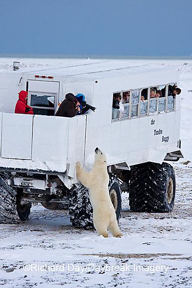 01874-11214 Polar bear (Ursus maritimus) near Tundra Buggy, Churchill, MB