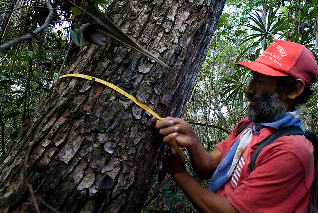 Guatemala, Petén, Field worker mesuring Mahagony trees in Uaxactun timber consession zone in the Mayan Biosphere Reserve.