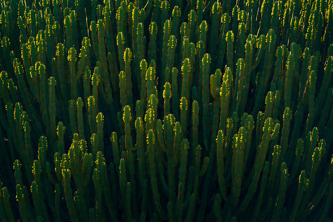 Strong backlighting resembles candle lights on a candelabra, on the apt named candelabra tree (Euphorbia ingens) in Tanzania, Africa.