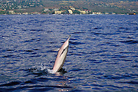 Long-snouted Spinner Dolphin, Stenella longirostris, tail-walking, Kailua Bay, Kona, Big Island, Hawaii, Pacific Ocean