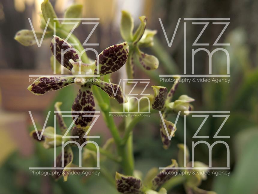 BOGOTÁ-COLOMBIA- 15-01-2013. Orquídea Anacheilium crassilabium. Orchid Anacheilium crassilabium. (Photo:VizzorImage)