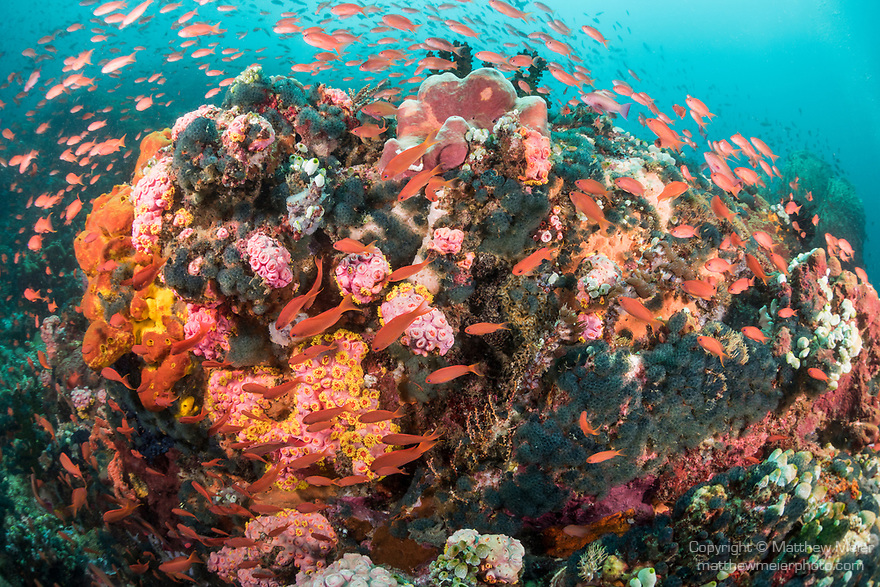 Verde Island, Oriental Mindoro, Philippines; scalefin anthias fish swimming over colorful sponges and corals on the reef