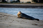 Grey seal, Halichoerus grypus, on Dollymount Strand, Bull Island, Dublin, Ireland. Bull Island is a UNESCO protected biosphere reserve