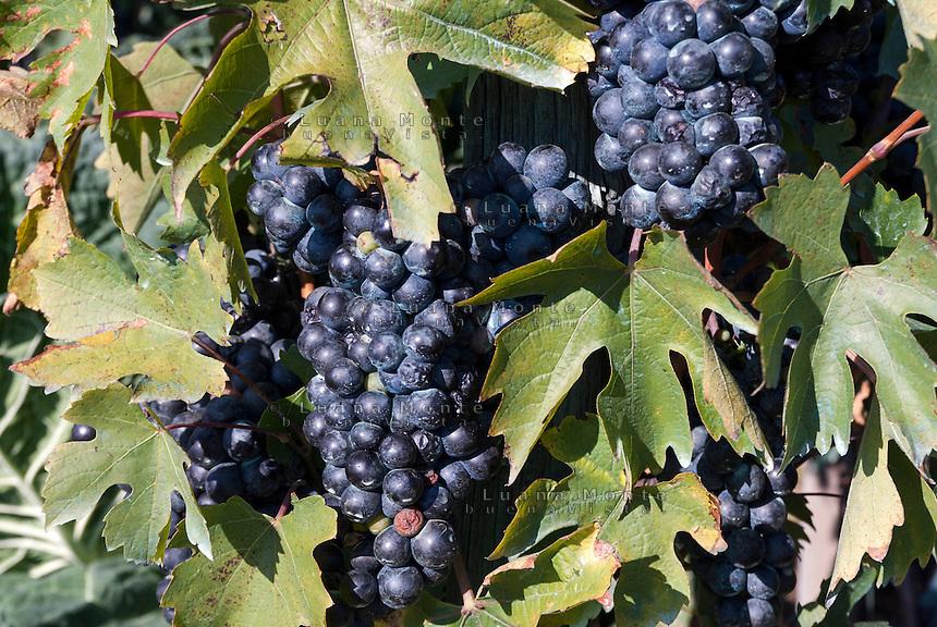 Grappoli d'uva pronti per la vendemmia in Valtellina. Ponte in Valtellina, 15 settembre, 2007<br /> <br /> Grape clusters ready for grape harvest in Valtellina. Ponte in Valtellina, September 15, 2007