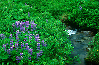 152200012 wild growing arctic lupine lupinus arcticus grow along a small stream near hatcher pass in alaska