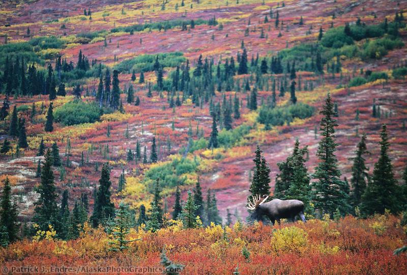 Bull moose, autumn tundra, Denali National Park, Alaska