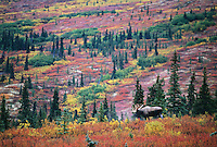 Bull moose, autumn tundra, Denali National Park, Alaska
