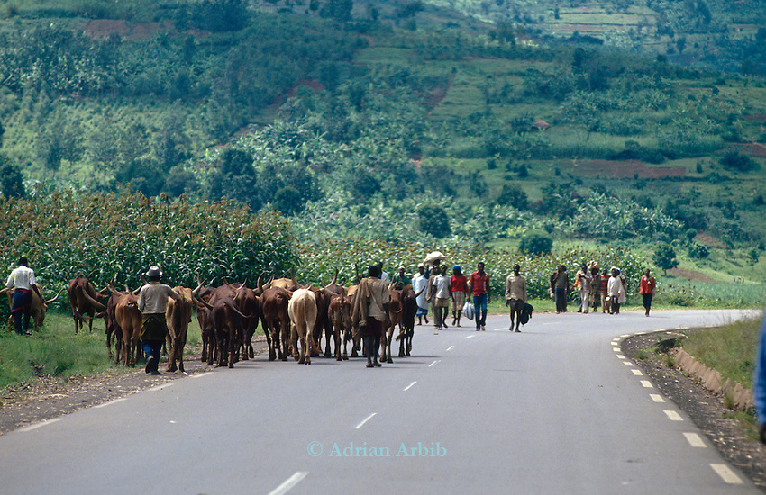 Cattle being herded along a main road,Rwanda