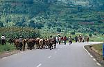 Cattle being herded along a main road,Rwanda