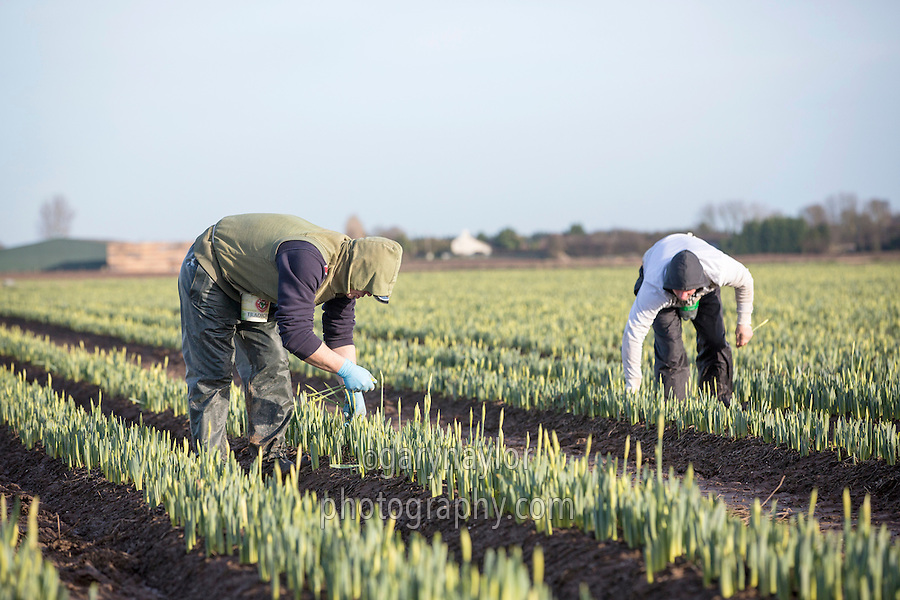 First cropping of new season daffodils - Lincolnshire, January