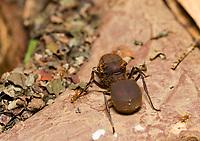 Queen Leafcutter Ant, Atta cephalotes, Sarapiquí, Costa Rica