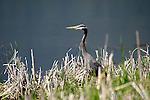 blue heron, ardea herodius