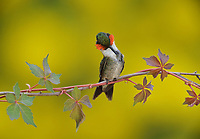 Ruby-throated Hummingbird (Archilochus colubris), male preening on Virginia creeper (Parthenocissus quinquefolia), Hill Country, Central Texas, USA