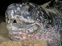 lateral cusps of a nesting leatherback sea turtle, Dermochelys coriacea, as seen on its head, Dominica, Caribbean, Atlantic-
