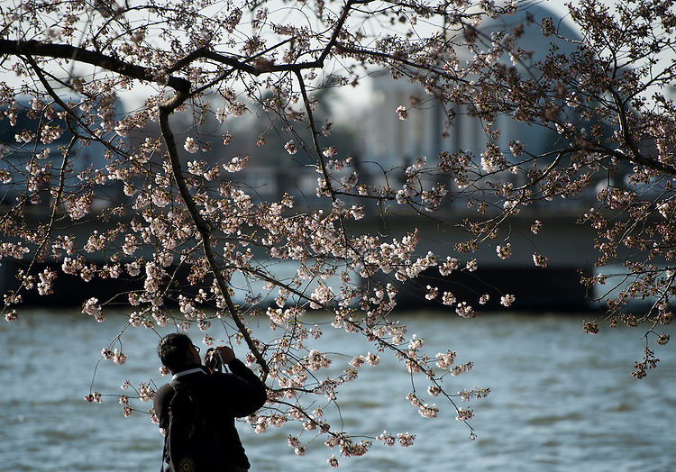 UNITED STATES - APRIL 7: A tourist takes photos of the late blooming cherry blossoms along the tidal basin in Washington on Sunday, April 7, 2013. (Photo By Bill Clark/CQ Roll Call)