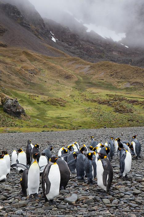 King penguins, Fortuna Bay, South Georgia Island