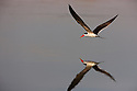Botswana, Moremi Game Reserve, Okavango Delta, African skimmer (Rynchops flavirostris) flying low above water