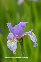 63899-05306 Blue Flag Iris (Iris versicolor) in wetland, Marion Co., IL