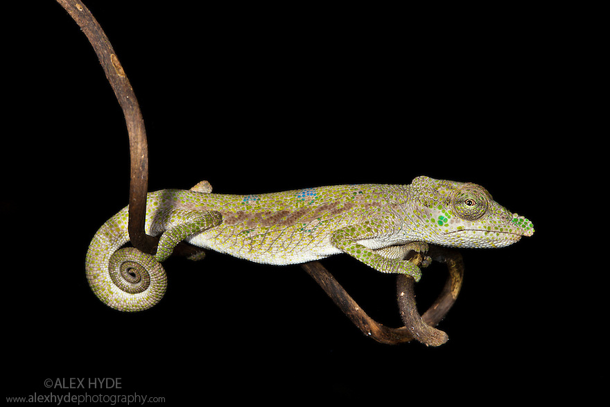 Nose-horned chameleon {Calumma / Chamaeleo nasutus} on branch at night, tropical rainforest, Masoala Peninsula National Park, north east Madagascar.