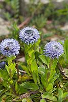 Echte Kugelblume, Gewöhnliche Kugelblume, Punktierte Kugelblume, Globularia punctata, Ball Flower, Common Globularia, Common Globe Flower, Globe Daisy