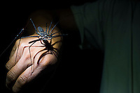 Whip Scorpion (Amblypygi), Amazon Rainforest, Coca, Ecuador, South America