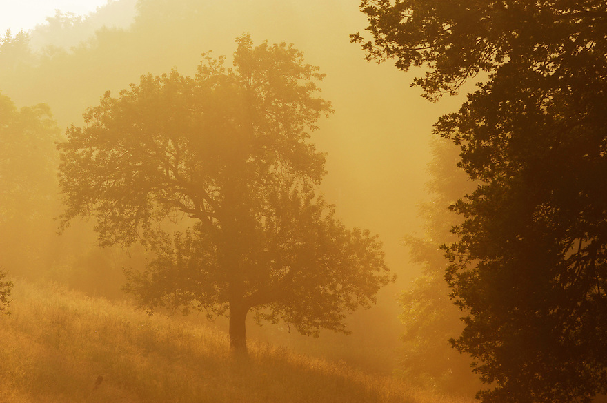 Apple Trees in the Morning Mist, Mullerthal trail, Mullerthal, Luxembourg