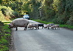 ROAD HOG - Causing a bit of a traffic ham.<br /> <br /> Piglets cross the road causing a motorist to slow as they followed their mum to the otherside.<br /> <br /> Eileen Welland, 70, a retired mental health nurse, had been out walking her dog spotted the piglets and their mum crossing the road in the New Forest near Ringwood, Hampshire.<br /> <br /> Please byline: Eileen Welland/Solent News<br /> <br /> © Eileen Welland/Solent News & Photo Agency<br /> UK +44 (0) 2380 458800
