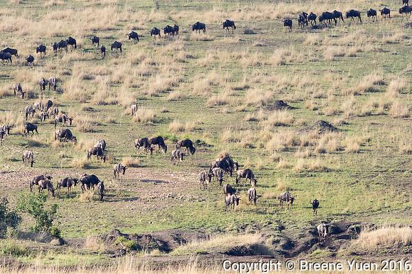 Wildebeast Migration2  Kenya 2015