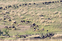 Wildebeast Migration2  Kenya 2015