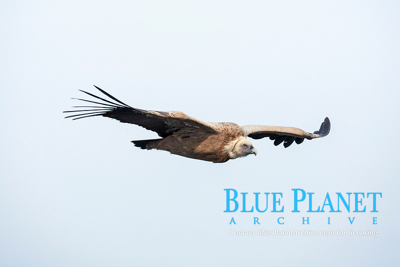 Griffon Vulture (Gyps fulvus) in flight, Monfrague National Park, Extremadura, Spain, Europe
