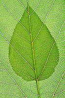 Single green leaf transposed against a full size leaf