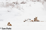 Coyote pair feeding on carcass during winter. Yellowstone National Park, Wyoming.