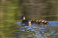 Northern Shoveler (Anas clypeata), female with chicks, Grand Teton NP,Wyoming, USA