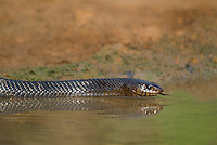 438950042 a wild adult texas indigo snake drymarchon corais erebennus swims and drinks in a small pond on dos venadas ranch starr county rio grande valley texas united states