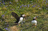 Gregarious non-breeding Atlantic Puffins (Fratercula arctica) 'hang out' during nesting season on grassy slopes and rock ledges near the many scattered burrows of the colony's breeding pairs, here along the coast of eastern Newfoundland, summer, Newfoundland and Labrador, Canada.  Puffins communicate much more with gestures than vocalizations.  So one could speculate that these two - one gaping silently and the other flapping and displaying its profile - may be testing status, displaying aggression... or just fooling around.