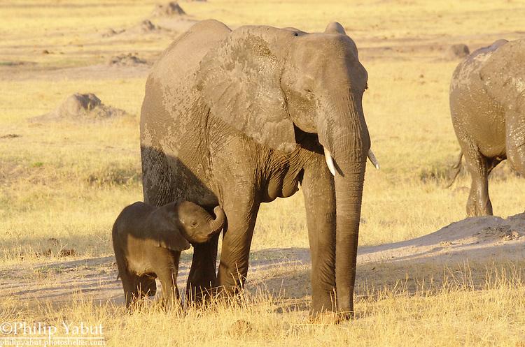 Baby African bush elephant (Loxodonta africana) and its mother, Hwange National Park, Zimbabwe.