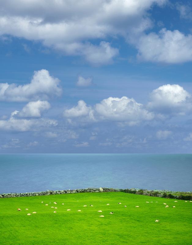 Sheep in pasture with ocean. Galway Bay, Black Head, The Burren, Ireland