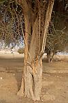 Jericho Balsam tree (Balanites Aegyptiaca) in the Jordan Valley<br />