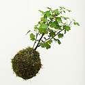 "Gooseberry ""kokedama"", a floating Japanese moss ball, Two But Not Two garden designed by Maïa Sautelet, Hampton Court Flower Show 2012."
