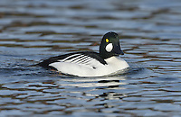 Goldeneye Bucephala clangula L 42-50cm. Compact diving duck. Both sexes are easily recognised. In flight, all birds show white on inner wings (extent greatest in males). Sexes are dissimilar in other respects. Adult male has mainly black and white plumage. Rounded and peaked, green-glossed head has yellow eye and striking white patch at base of bill. In eclipse, resembles an adult female but retains his more striking white wing pattern. Adult female has mainly grey-brown body, pale neck, dark brown head and yellow eye. Juvenile is similar to adult female but with dark eye. Voice Displaying male utters squeaky calls and rattles. Status Scarce breeding species, mainly in N. Locally common in winter, mostly on estuaries but also on inland lakes and flooded gravel pits.